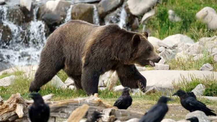Grizzly bear spotted for first time in 10 years in north-central Idaho