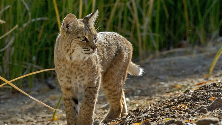 Bobcat leaves area near Reardan-Edwall schools, modified lockdown lifted