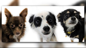 Hundreds of dogs can be adopted soon after illegal puppy mill bust in Stevens Co.