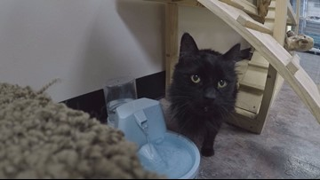 Black cats popular at Spokane Humane Society despite superstitions