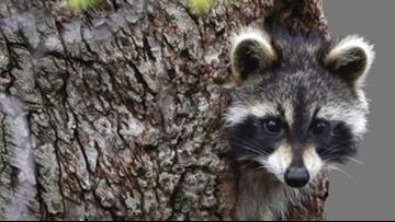 Raccoons drunk on crab apples cause rabid animal scare in West Virginia: Police