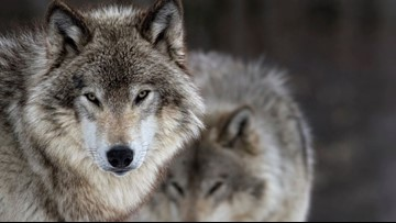 Washington wolf meetings, including one in Spokane, canceled amid safety concerns