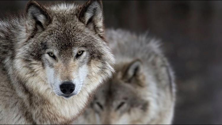 Wolf kills calf on WA Fish and Wildlife lands in Asotin Co.