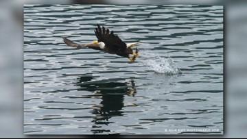 Bald Eagles return to Lake Coeur d'Alene to feed on salmon