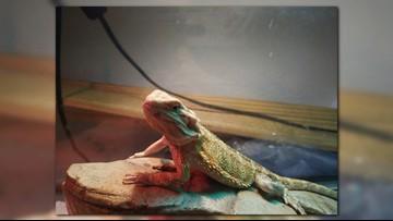 Bearded dragon lizard stolen from Idaho pet store found via social media