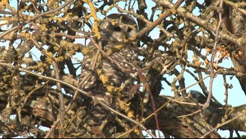 N. Idaho non-profit releases owl weeks after it was hit by car