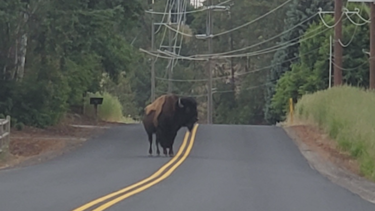Animals-at-large: Bison family roam South Hill for third time in one year