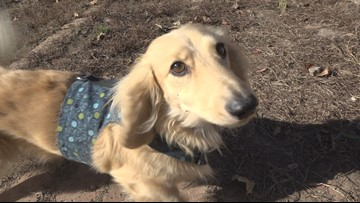 You can watch 25 wiener dogs race at Sunday's Spokane Chiefs game