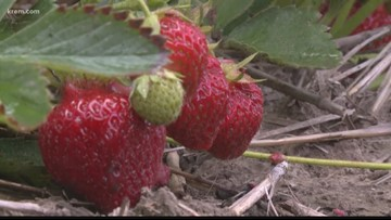 A breakdown of the strawberry shortage
