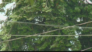 Officers hope young bear stuck in Coeur d'Alene tree will come down by nightfall