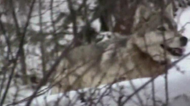 $15,000 reward for information about Stevens County wolf death