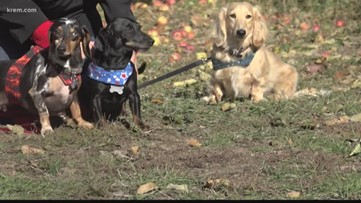 Watch 25 wiener dogs race at Sunday's Spokane Chief game