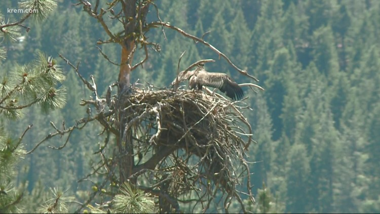 Nine Mile Falls woman monitors eagle family who built their nest in her backyard