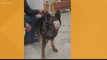 Moses Lake police K-9 returns home after losing eye in shooting