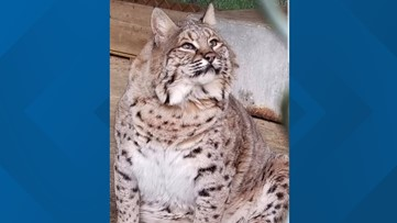 Meet Bonnie, the chubby bobcat adopted by Cat Tales in Mead