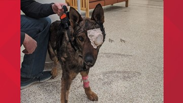 Moses Lake police K-9 released from hospital after losing eye in shooting