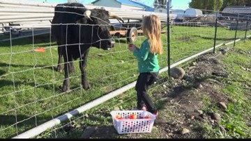 An unexpected friendship saved a Post Falls steer from the slaughterhouse