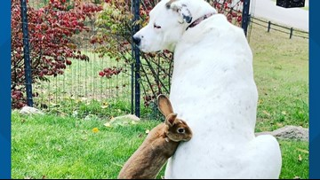 This 115-pound pitbull and baby bunny are unlikely best friends in Sandpoint
