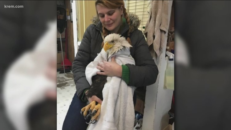INJURED BALD EAGLE RESCUED IN MOSES LAKE AFTER BEING SHOT