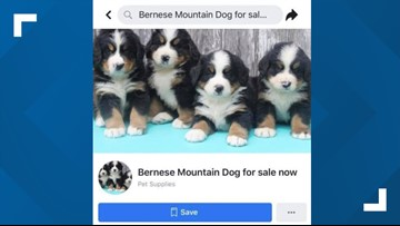 Beware of puppy scams this holiday season, BBB says