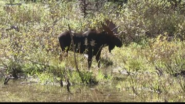 Moose population declining in North Idaho