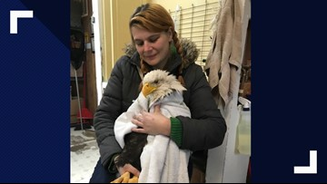 Health improving for bald eagle found wounded by gunshot near Moses Lake