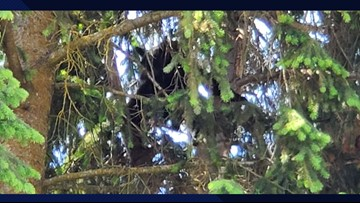 Black bear stuck in tree on Wednesday leaves Coeur d'Alene