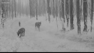 Washington Ranchers vs. wolves