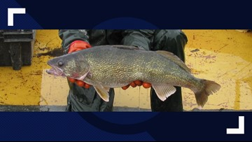 Fish and Game offering $1,000 for anglers who catch walleye in N. Idaho lake