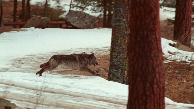 Idaho governor greenlights killing of 90% of state's wolf population