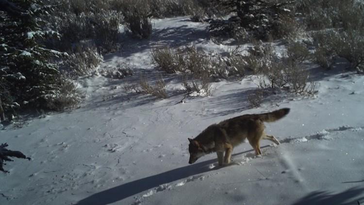 Idaho wolf law will cause grizzly bear, lynx deaths