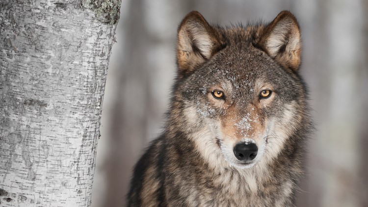 U.S. plans to lift protections for gray wolves