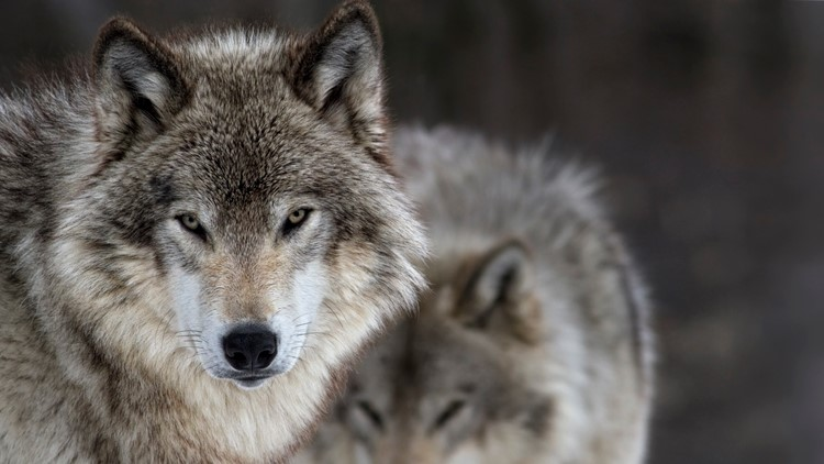 wolves wolf thinkstock