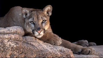 Colorado trail runner kills mountain lion who attacked him