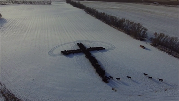 Holy cows: Cattle form shape of cross on Christmas Day