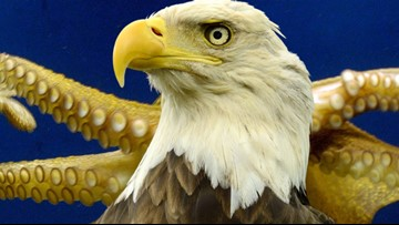 Canadian salmon farmers rescued a bald eagle from an octopus' death grip